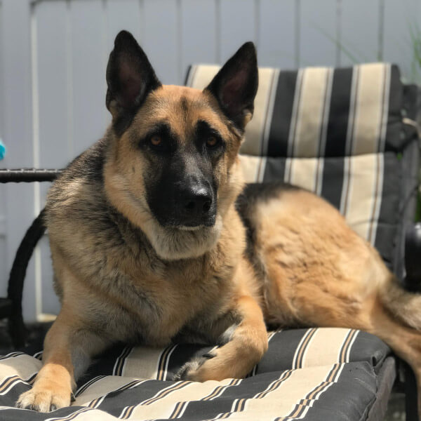Dog on lounge chair