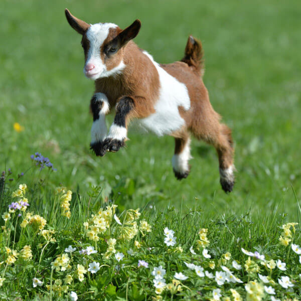 Goat jumping